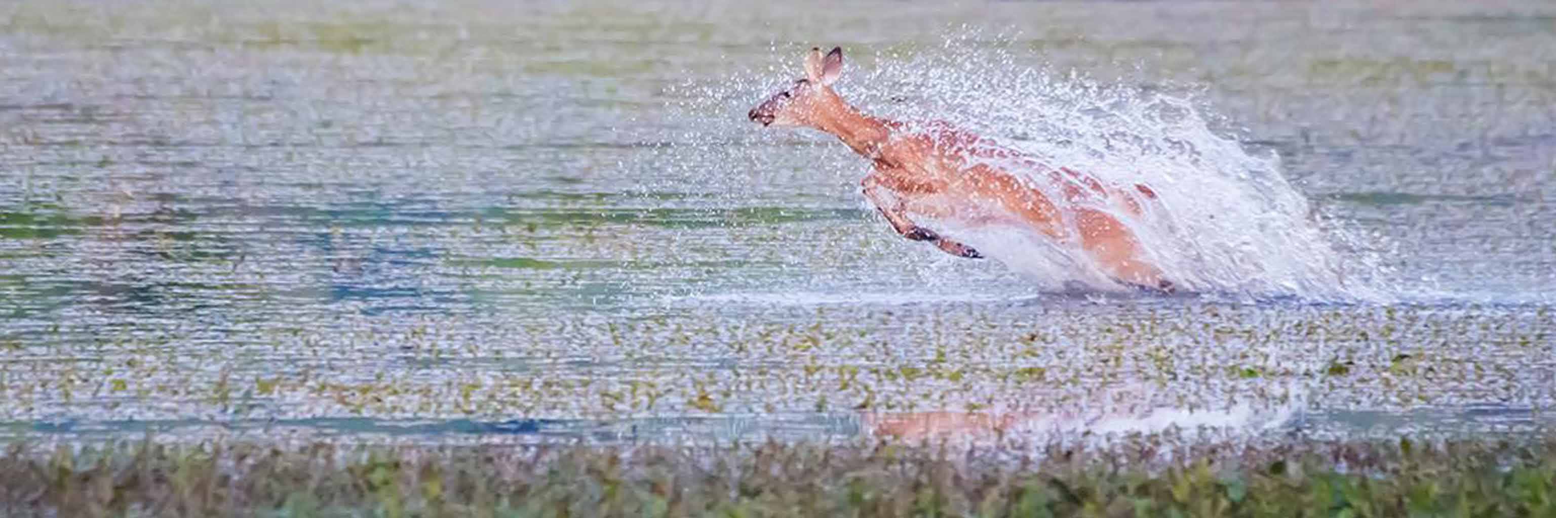 Deer splashing in a pond