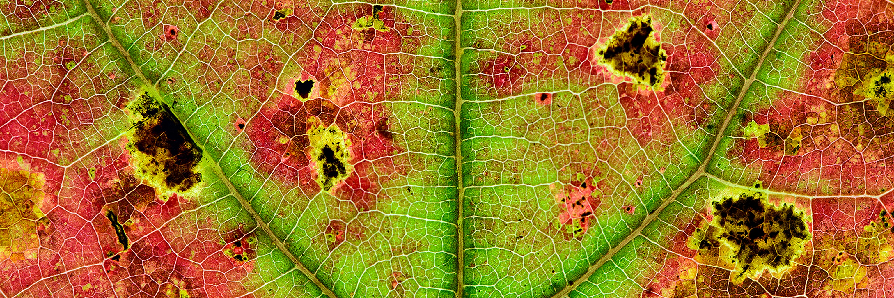 A close up of the veins of a diseased leaf.