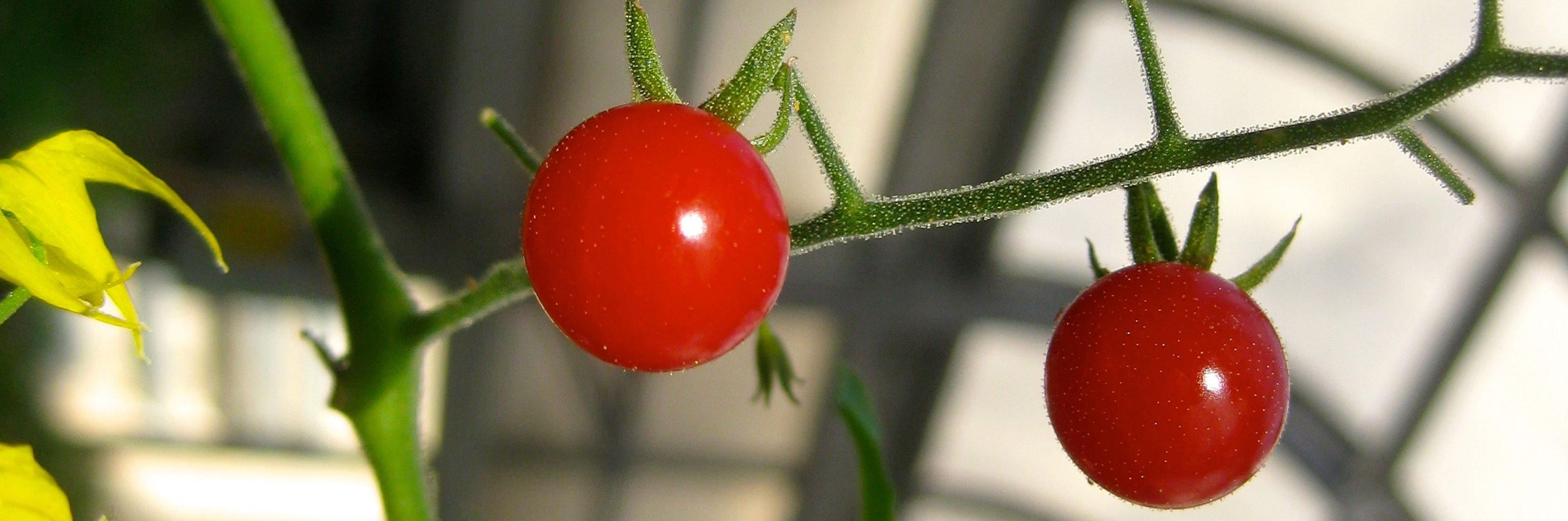 Close up of a cherry tomato