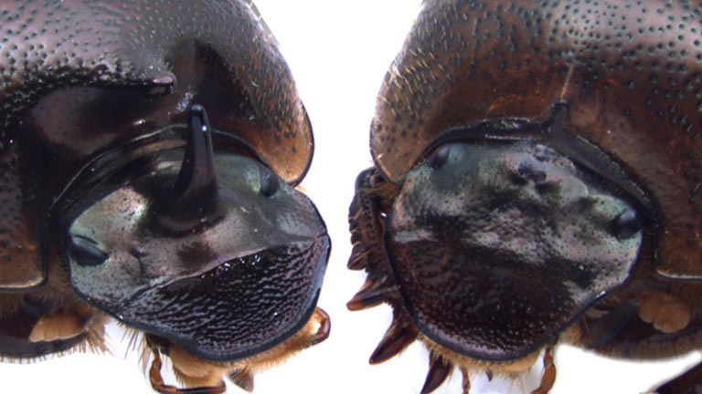 Two horned beetles