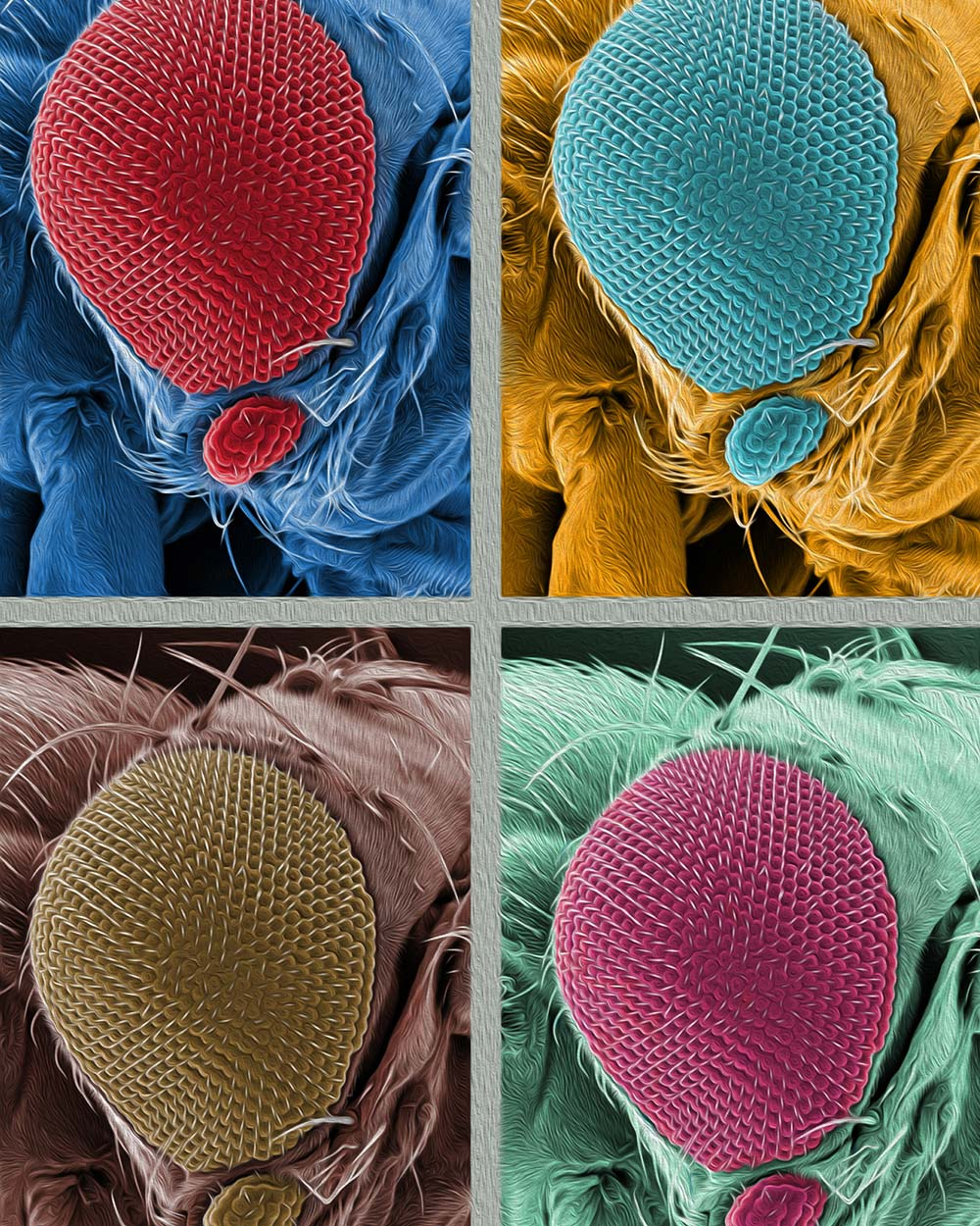 zoom in on a fly eye in 4 colors