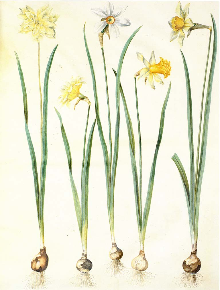 "Image of various daffodils from the ""Gottorfer Codex,"" a four-volume work depicting flowers and edible or medicinal plants, created by painter Hans Simon Holtzbecker between 1649 and 1659."