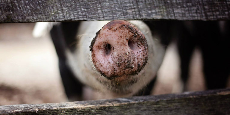 The snout of a pig poking through a barnyard fence.