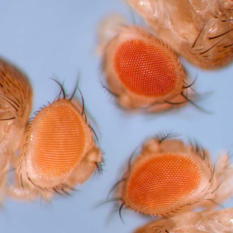 Face profiles of three fruit flies.