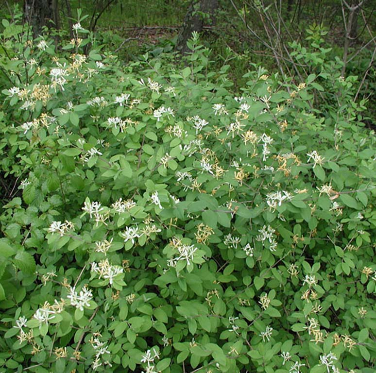 asian bush honeysuckle.