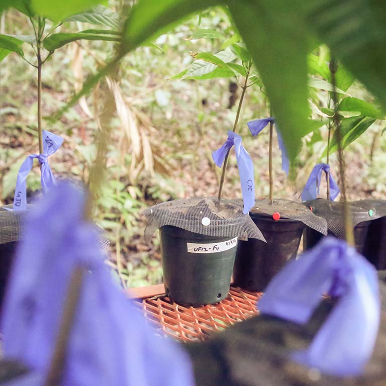 Experimental setup: Exposing cacao tree seedlings to leaf litter from healthy cacao adults significantly reduced seedling pathogen damage – an effect attributable to the microbiota transferred from the litter to the seedlings.