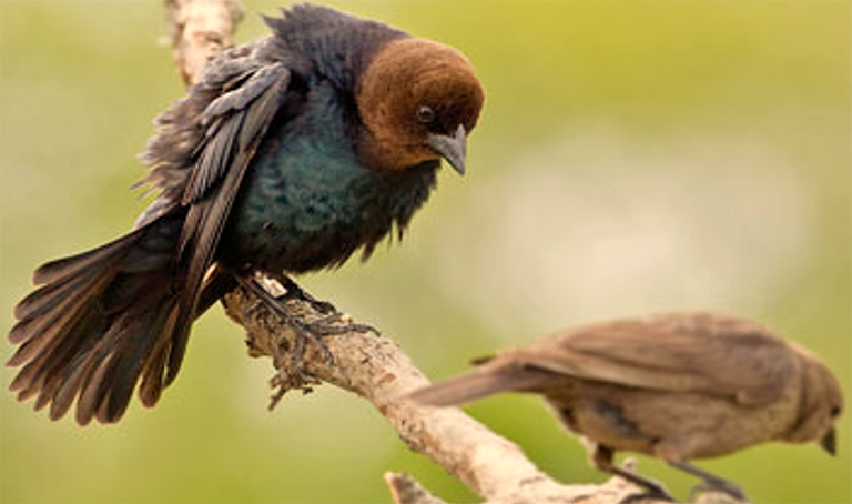 Male and female Brown-headed Cowbird.