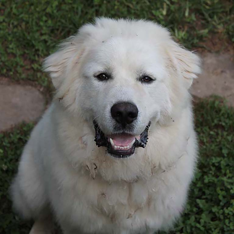 Friendly Great Pyrenees dog.