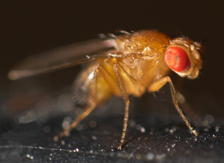 A fruit fly in the species Drosophila melanogaster. Photo courtesy Thomas Wydra (Wikimedia Commons)