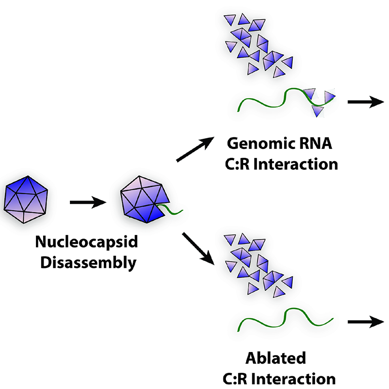 Figure demonstrating nucleocapsid disassembly--splitting into two alternatives:  1. Genomic RNA C:R Interaction TO Efficient Genomic RNA Function/Translation TO Increased viral growth kinetics, reduced IFN induction, increased virulence.  2. Ablated C:R Interaction TO Inefficient Genomic RNA Function/Instability TO  Decreased viral growth kinetics, increased IFN induction, decreased virulence.