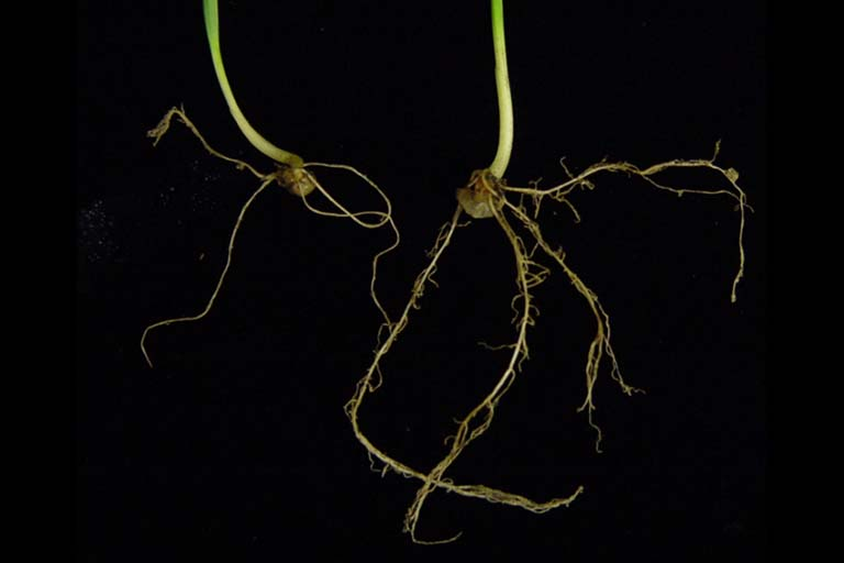 Root growth. The plant on the right with more roots was inoculated with Azospirillum brasilense while the plant on the left was not inoculated.