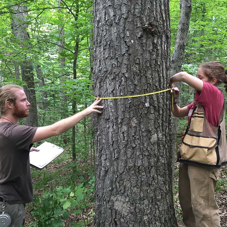 Two members of the field crew measure a tree while recensusing the IU Forest Dynamics Plot in Lilly-Dickey Woods in 2017.