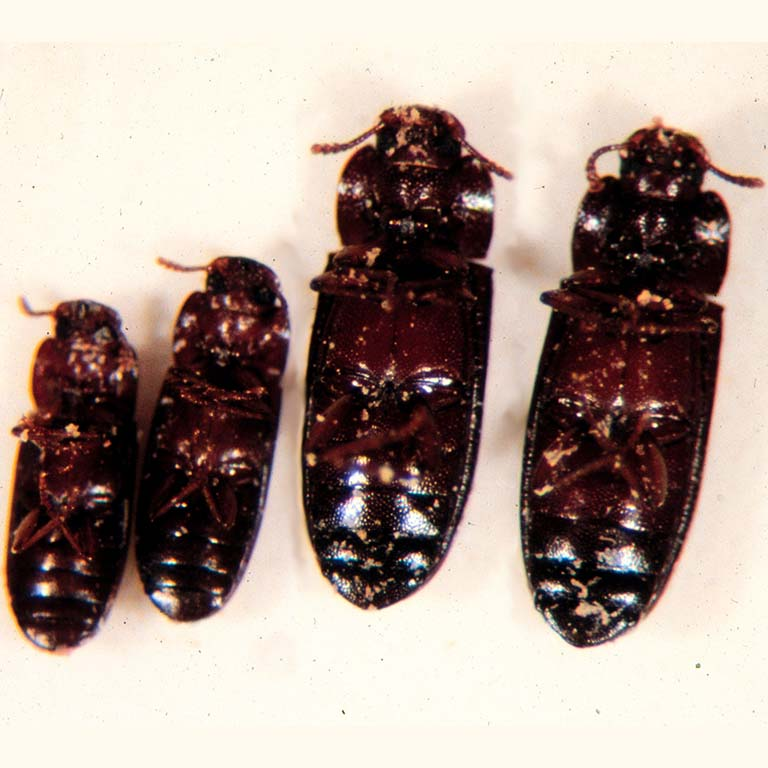 four varieties of the flour beetle Tribolium castaneum
