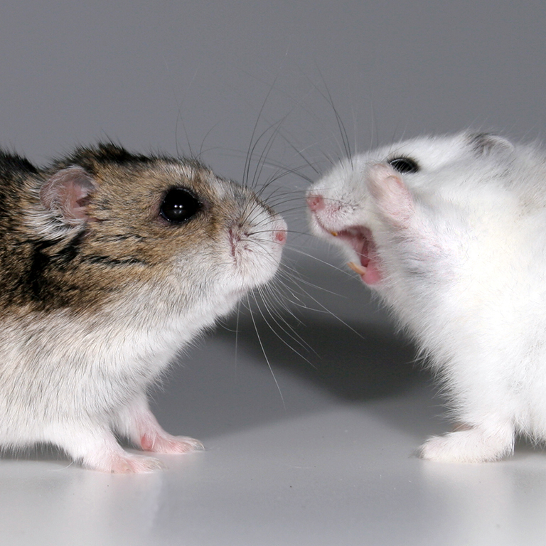 A female hamster displays aggressive behavior toward another hamster.