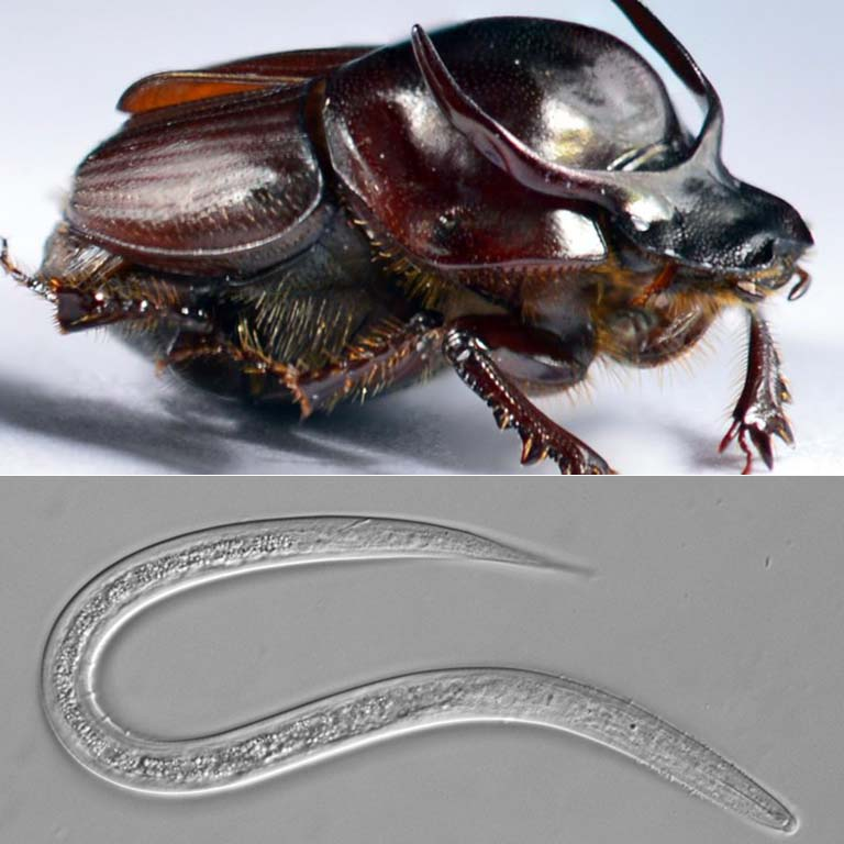 A taurus scarab (dung beetle), top, and a Diplogastrellus nematode, bottom.