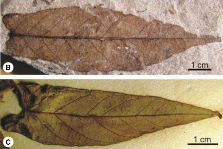 Fossilized leaf compared to current sweet potato leaf; the two look very similar.