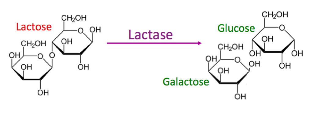 Illustration showing how the lactase enzyme breaks down the sugar lactose into two smaller sugars that can be absorbed in the small intestine.