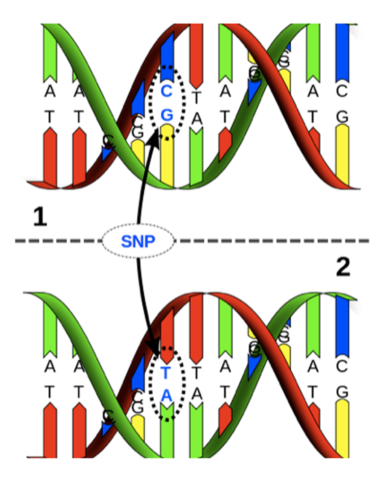 An illustration of SNP, located 13910 base pairs in front of the lactase gene, has the DNA base pair C:G replaced by a T:A.