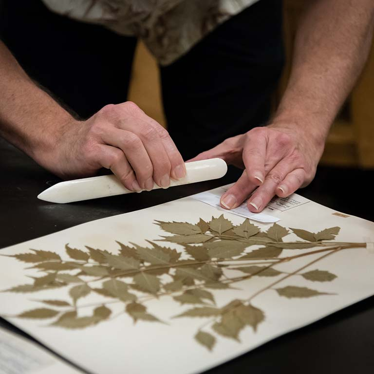 A preserved plant specimen at the IU Herbarium is prepared for digitization.