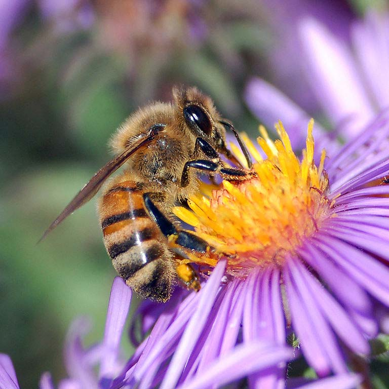 European honey bee (Apis mellifera) extracts nectar from an aster flower.