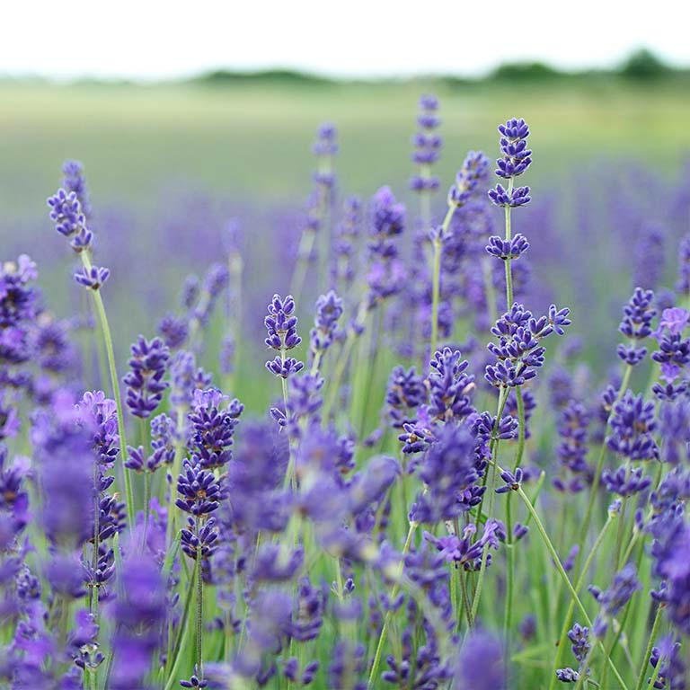 Field of lavender in bloom.