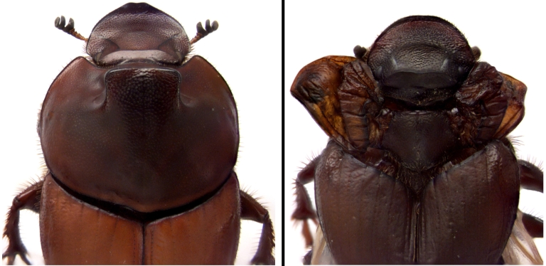 The left image shows thoracic horns in a typical dung beetle. The right image shows the effect of reducing the expression of a gene in the wing gene network in beetles, which transforms thoracic horns into a third set of wings.