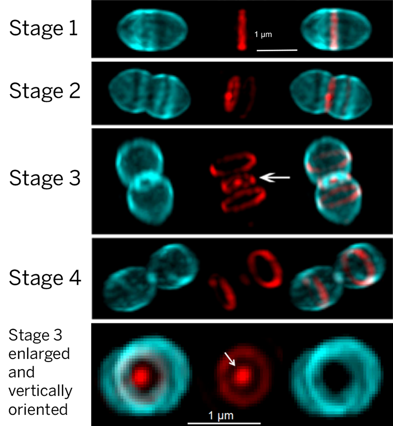 Super-resolution micrographs of Streptococcus pneumoniae cells labelled with probes for PG synthesis.