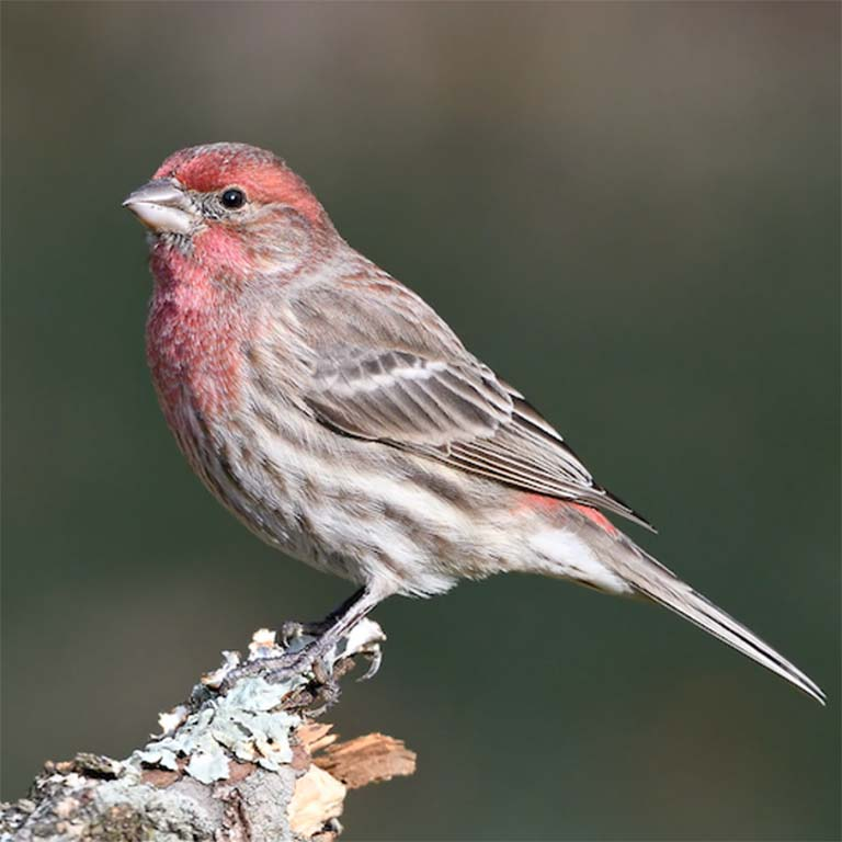 Male House Finch perches on a twig.