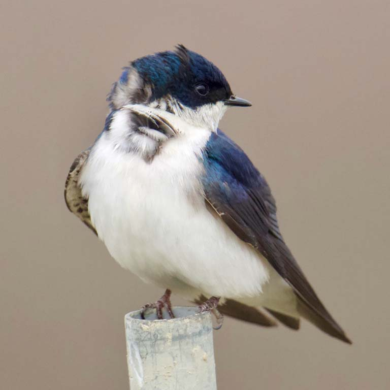 Tree Swallow perches on top of a metal post.