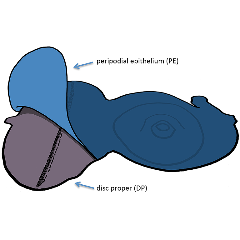 A drawing of the Drosophila eye-antennal disc (purple) and the overlying peripodial epithelium (blue).
