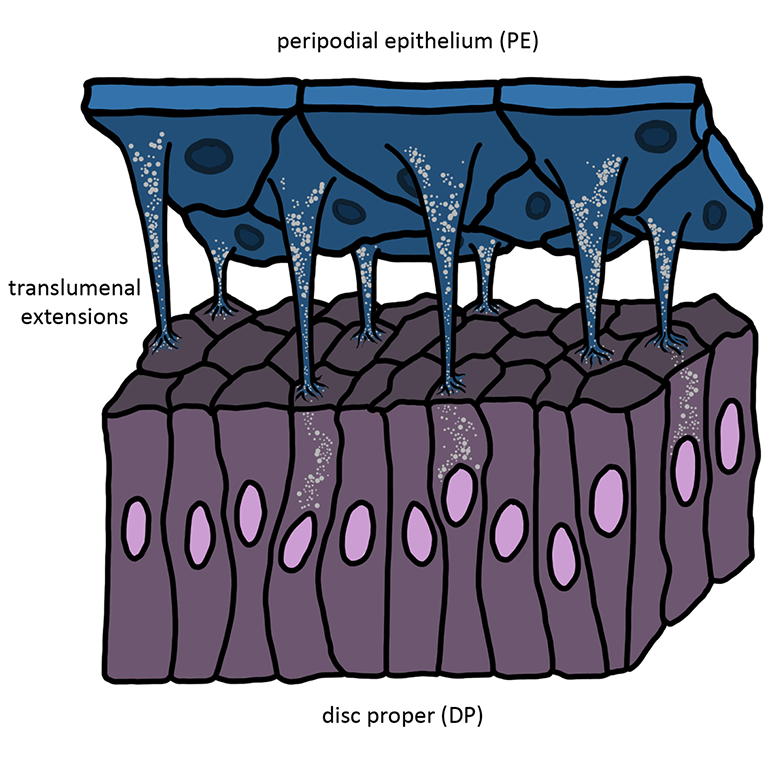A drawing of the translumenal extensions that connect the peripodial epithelium (blue) to the disc proper eye-antennal disc (purple) in Drosophila.