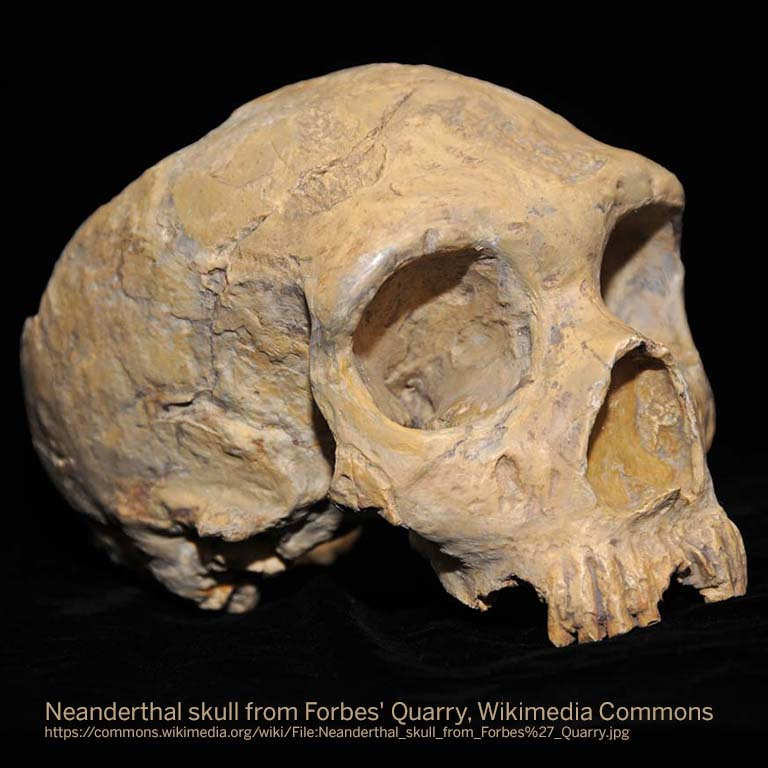 Neanderthal skull from Forbes' Quarry. Wikimedia Commons (https://commons.wikimedia.org/wiki/File:Neanderthal_skull_from_Forbes%27_Quarry.jpg)