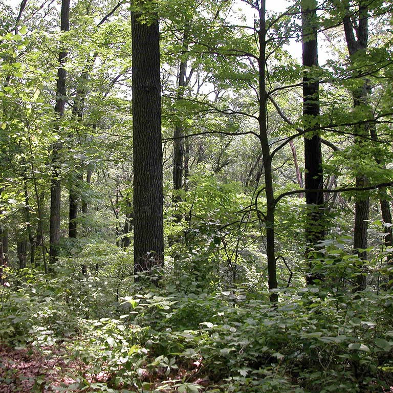Leaf litter and undergrowth are seen below the tall, deciduous trees in Lilly-Dickey Woods.