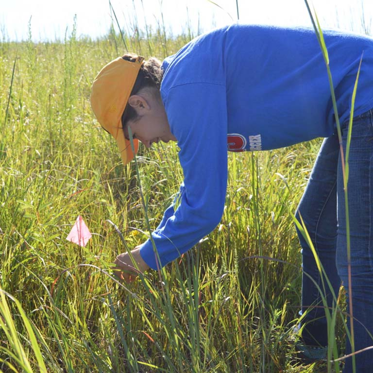 Emma Boehm tagging partridge pea plants in the field for an experiment evaluating adaptive capacity of natural populations.