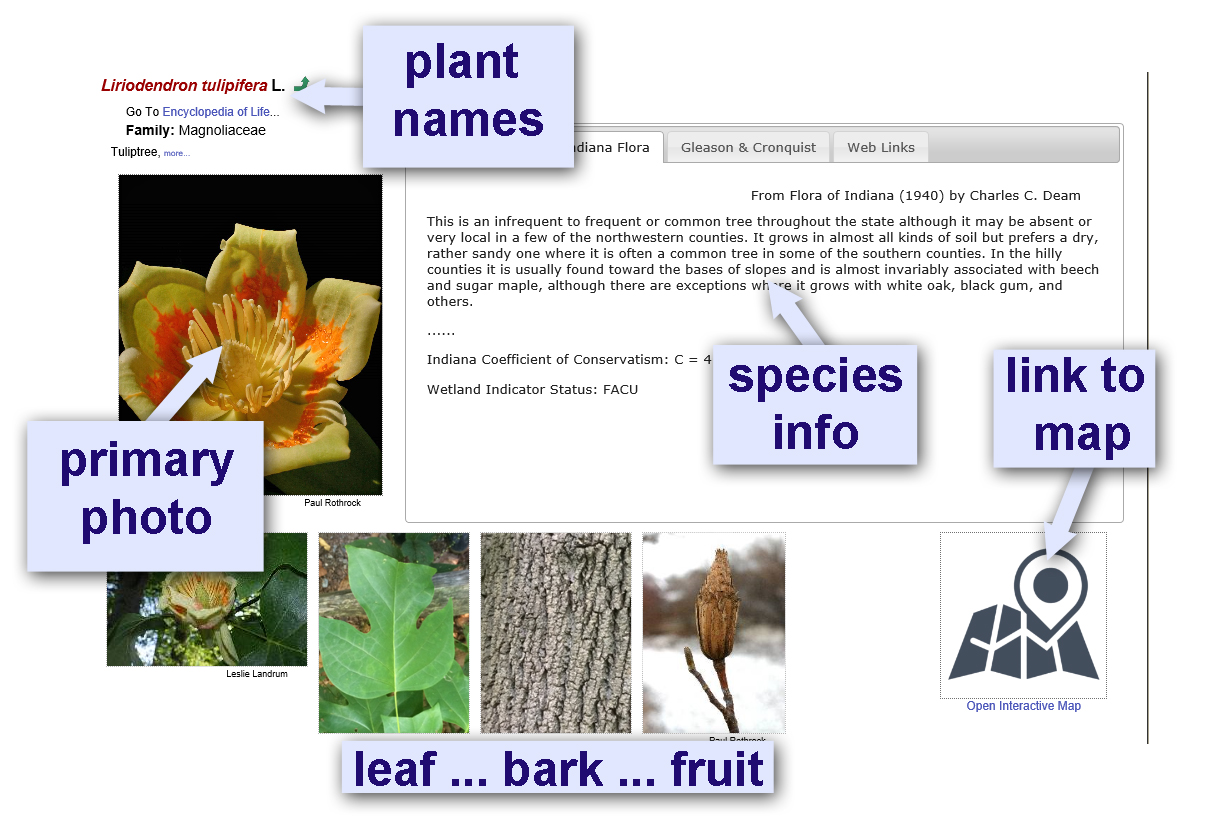 "Sample species page for Liriodendron tulipifera from the Midwest Consortium of Herbaria website, pointing out ""plant names,"" ""primary photo,"" ""species information,"" ""leaf, bark, fruit,"" and ""link to map."""