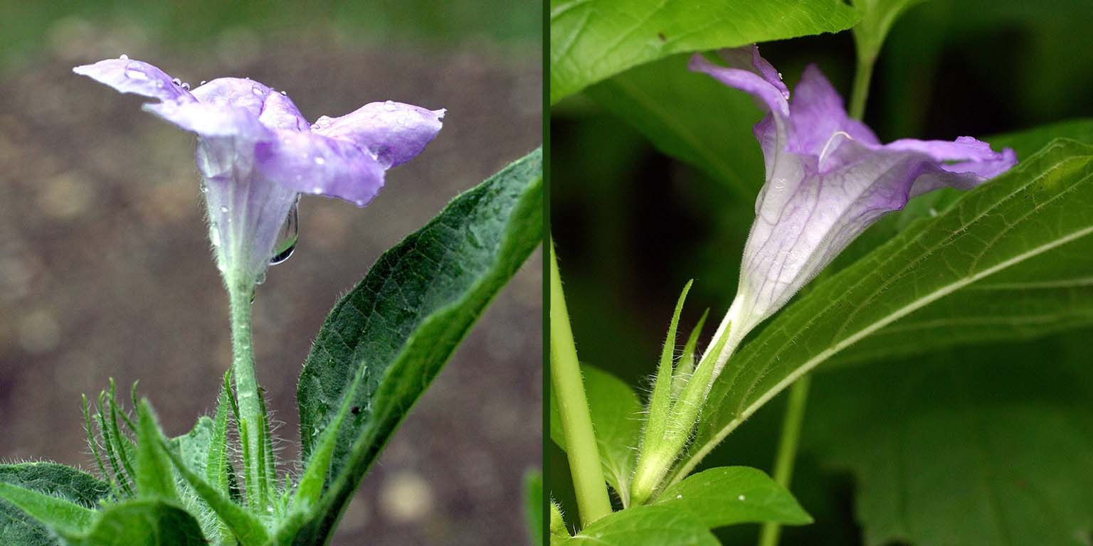 Comparing the lavender blooms of Ruellia humilus and R. strepens, demonstrating the differences, including the relative lengths of the corolla tube and sepals.