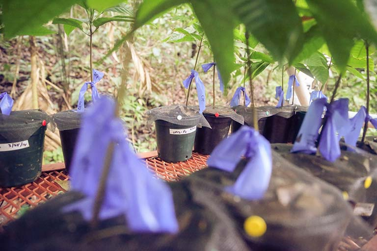 Experimental setup: Exposing cacao tree seedlings to leaf litter from healthy cacao adults significantly reduced seedling pathogen damage.