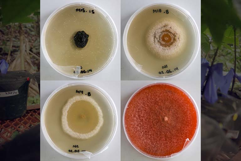 Endophytic fungi in Petri dishes.