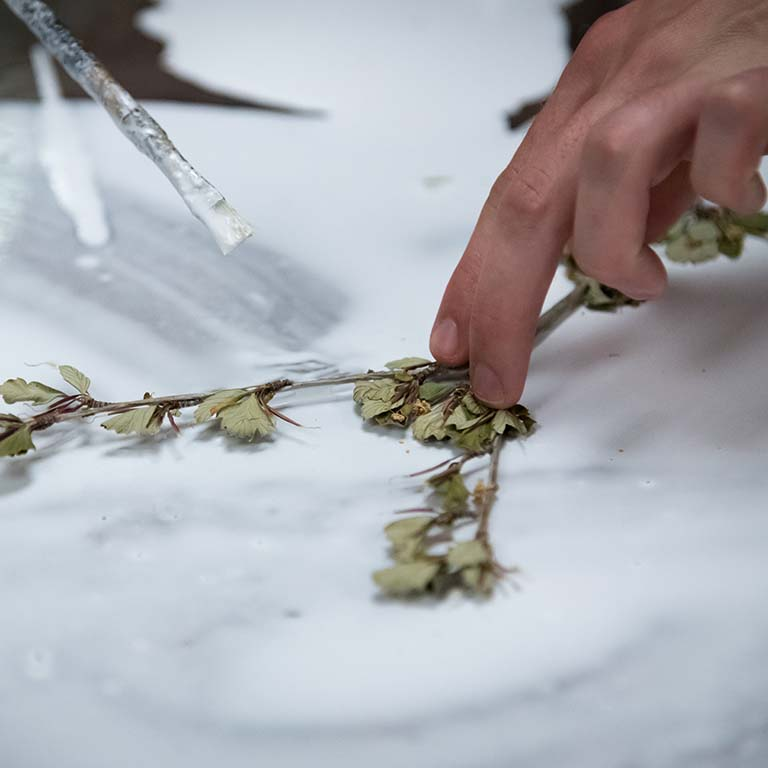 Applying glue to a dried and pressed plant specimen.