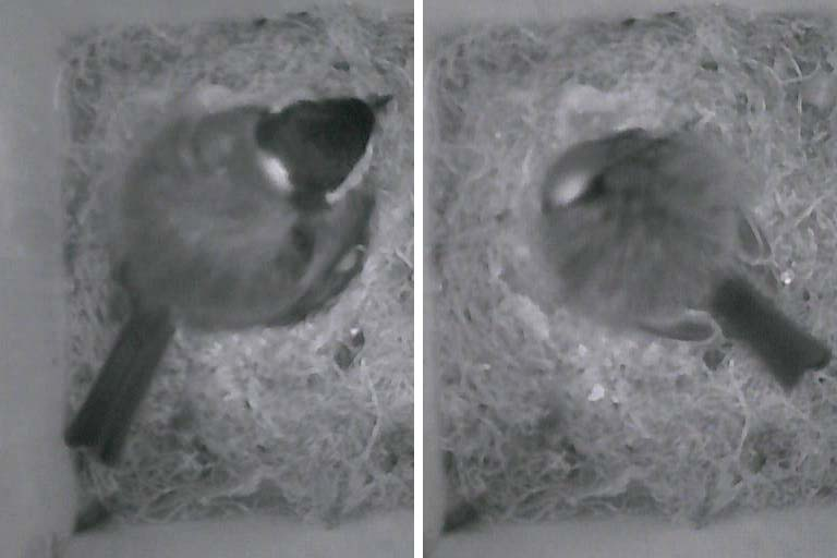 Two photos looking down into a nest box:  the Great Tit (Parus major) is awake in the first; the bird is sleeping in the second image.