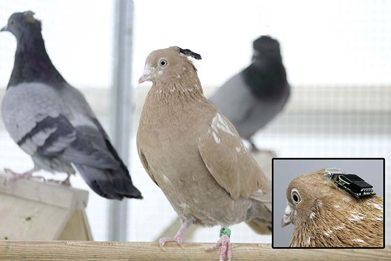 Pigeons at their roost wearing wireless EEG electrodes and microphones on their heads.  An inset shows a closeup of the device on a pigeon's head.
