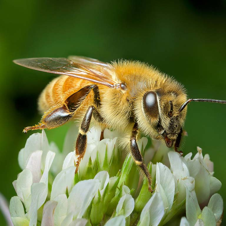 Honey bee on a clover blossom.