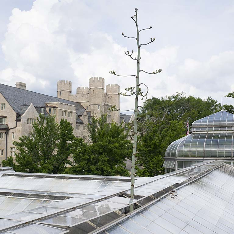 A section of glass was removed so the over-30-feet flower stalk of the Agave americana could pass through the roof of the Jordan Hall greenhouse at Indiana University Bloomington in summer 2019.