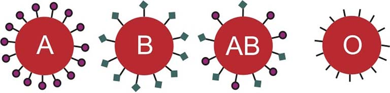 Each blood type is distinguished by a different sugar marker on the red blood cell. The diagram shows four red circles, each labelled with one of the four blood types: A, B, AB, and O. From the A cell extends pegs, each peg with a circle at its end, representing the sugar marker. From the B cell are pegs with squares on their ends, representing a different sugar marker.  The AB cell contains both circle-ended and square-ended pegs. The O cell contains only pegs.