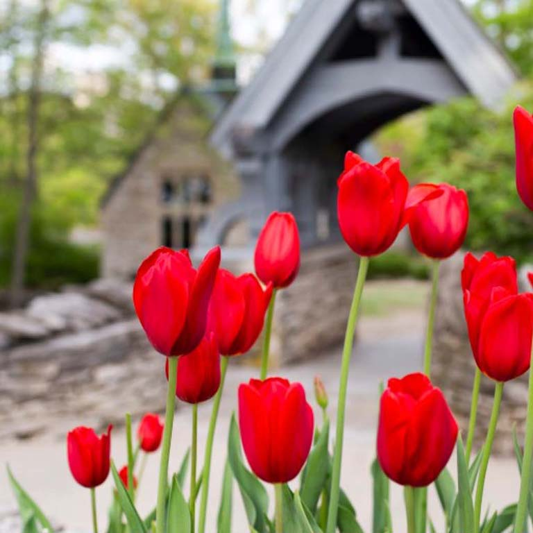 Red tulips bloom in the foreground; IU's Beck Chapel is in the background.