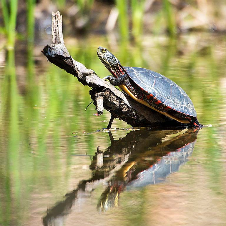 Painted turtle sunning on stick jutting out of pond.