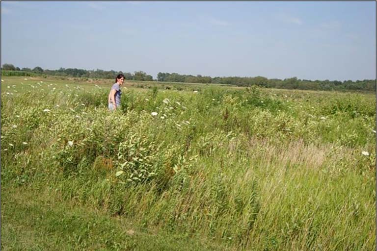 Jennifer Lau walks through the tall grasses and plants in an experimental field.