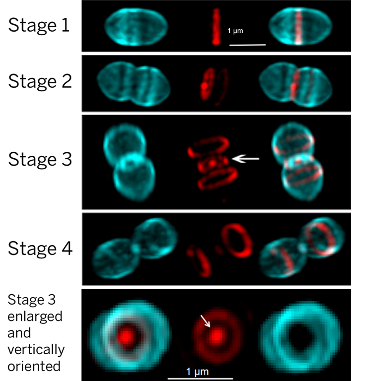 "Super-resolution micrographs of S. pneumoniae cells labelled with probes for PG synthesis. Old and newly synthesized PG are blue and red, respectively. Separation of the PG synthesis machines results in the ""Saturn-like"" red patterns (arrows)."